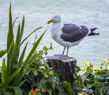 Seagull, Alcatraz Island, California, USA