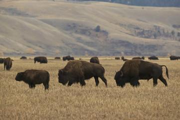 American Bison (Bison bison) Grand Teton & Yellowstone NPs, Wyoming, USA