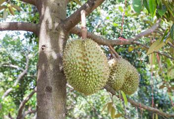 Durian (Durio zibethinus) king of tropical fruits hanging on brunch tree in the garden
