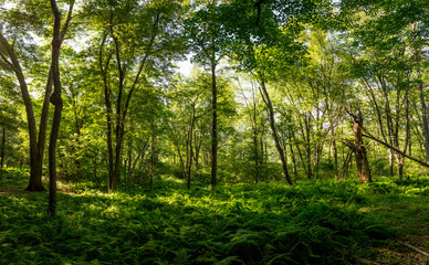 Sun rays shining through the leafs in a forest landscape., nature background.