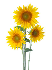 Three Sunflowers isolated on a white background.