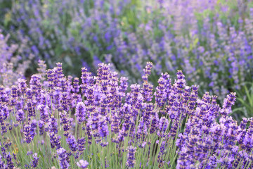Lavender bushes in sunrise/sunset, close up