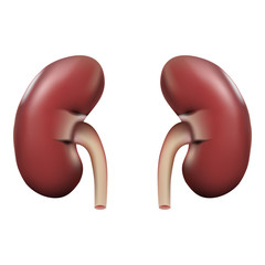 Human Kidney Anatomy Isolated On A White Background. Realistic Vector Illustration.
