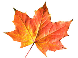 Maple leaf in autumn fall colour cut out and isolated on a white background