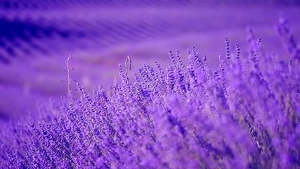 Fotoväggar - Lavender field in Provence, France. Blooming violet fragrant lavender flowers swaying on wind. 4K UHD video 3840x2160