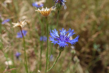 Blue cornflower with corn and grass in background