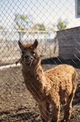 Lama in zoo