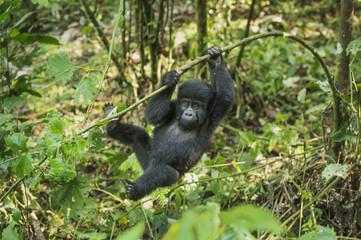 Mountain Gorilla (Beringei beringei), Bwindi Impenetrable Forest, UNESCO World Heritage Site, Uganda, Africa