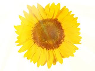 Sonnenblume - Blüte im Sonnenlicht