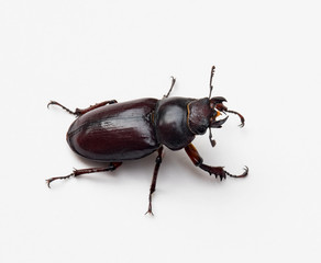 Female Stag Beetle, Right Side