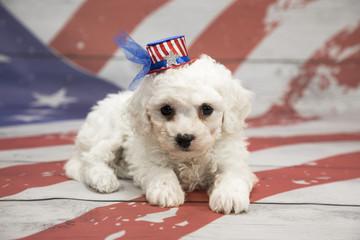 Bichon Frise on American Flag background