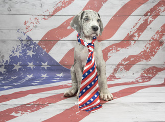 Great Dane on American Flag background