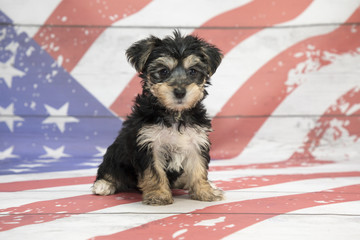 Morkie on American Flag background