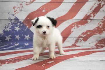 Huskimo on American flag background