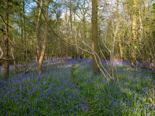 The path through the bluebell wood