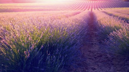 Fotoväggar - Lavender field in Provence, France. Blooming violet fragrant lavender flowers swaying on wind. 4K UHD video 3840x2160