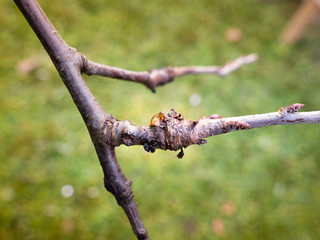 bacterial canker on plum tree causes decline of fruit trees