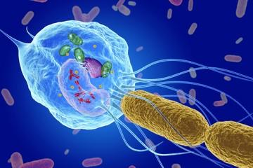 Macrophage capturing bacteria, illustration