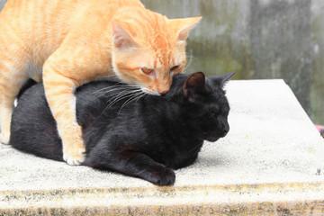 orange cat bite on nack black cat