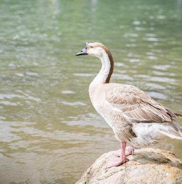 Austin barton spring river duck