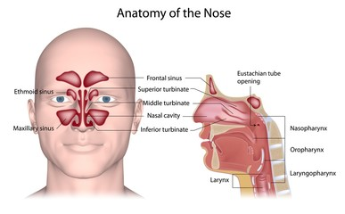 Nose anatomy, labeled.