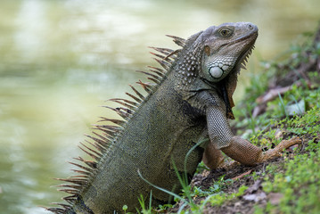 Im ready for my closeup! A Puerto Rican Iguana basks in the warm tropical sun next to a slow moving river