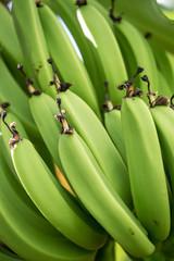 Green Bananas ripen under the warm Carribean sun