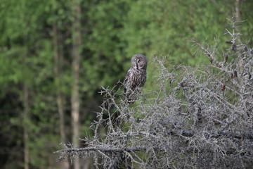 Great grey owl (Strix nebulosa) Sweden