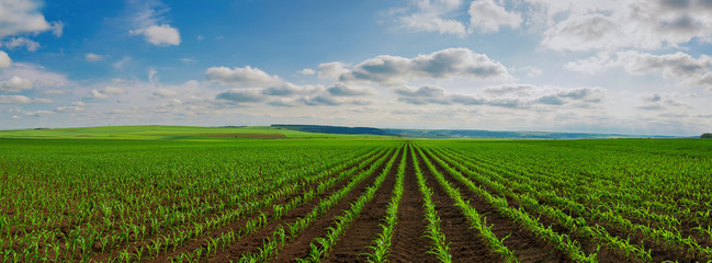 Photo sur Plexiglas Culture lines of young corn shoots on big field