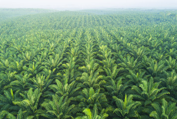 Foto auf AluDibond Palms Arial view of palm plantation at east asia