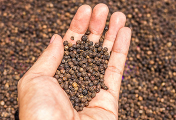 Black Peppercorns on hand. Peppercorn Varieties. Milled black pepper.and Black pepper grains as background close up,texture,spice medicinal properties.