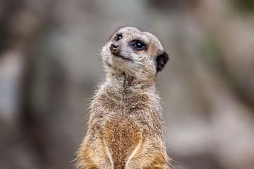 Meerkat or the Suricata