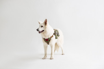 White Shepherd on the White background