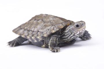 Balkan pond turtle, Mauremys rivulata