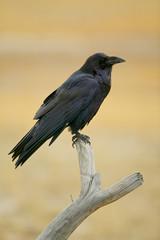 Common Raven (Corvus corax) Yellowstone NP, Wyoming, USA