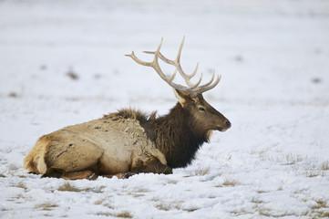 Elk - a.k.a. Wapiti deer - (Cervus canadensis), National Elk Refuge, Flat Creek, Grand Teton NP, Wyoming, USA