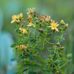 Flower of medicinal herb