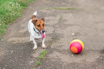 Dog with a ball