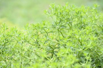 fresh green Eryngium foetidum plant in nature garden