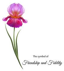 Изысканные цветы, фиолетовые ирисы. Символ дружбы и верности.