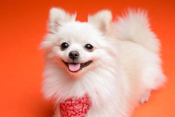 Pomeranian on the orange background
