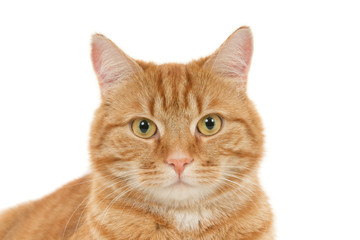 Portrait of a looking ginger cat against a white background