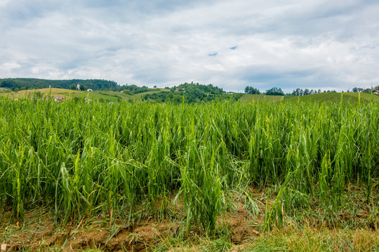 Corn field severly damaged in heavy storm with hail, crops ruine
