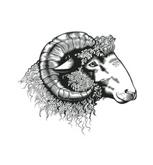 Head of ram hand drawn in antique etching style. Livestock animal isolated on white background. Vector illustration in monochrome colors for butchery logotype, farm products advertisement, banner.