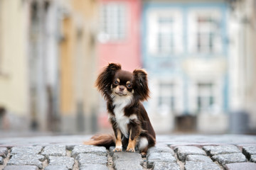 adorable brown chihuahua dog sitting on the street