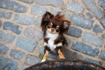 funny brown chihuahua dog portrait