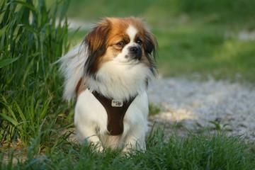 Kleiner Hund auf der Wiese