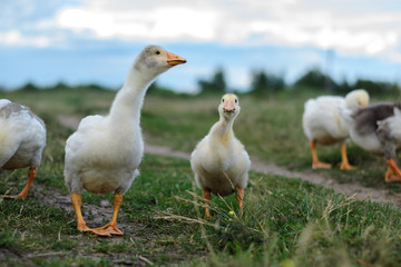 Geese family on grass