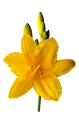 yellow Lily flower isolated on a white background