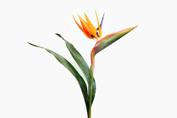 Flower Strelitzia on white background